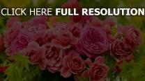 knospen rosa strauß rosen