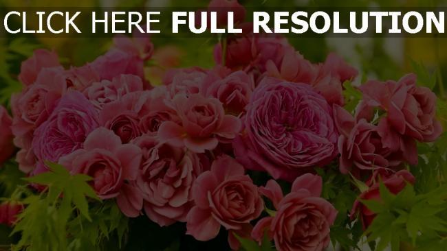 hd hintergrundbilder knospen rosa strauß rosen