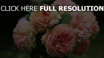blumen nahaufnahme strauß rosen