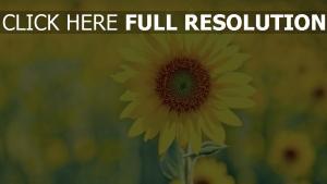sonnig sommer pflanze sonnenblume