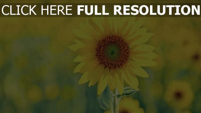 hd hintergrundbilder sonnig sommer pflanze sonnenblume