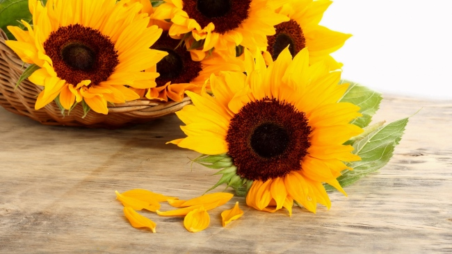 hd hintergrundbilder blütenblätter oberfläche korb sonnenblumen