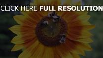 blumen insekten hummeln sonnenblumen