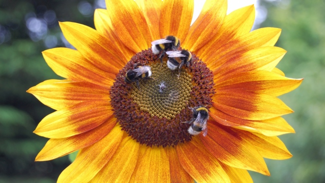 hd hintergrundbilder blumen insekten hummeln sonnenblumen