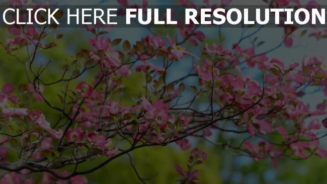 hd hintergrundbilder blüte zweig blume baum