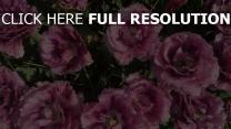 knospen beet tulpen