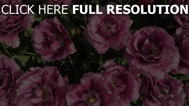 hd hintergrundbilder knospen beet tulpen