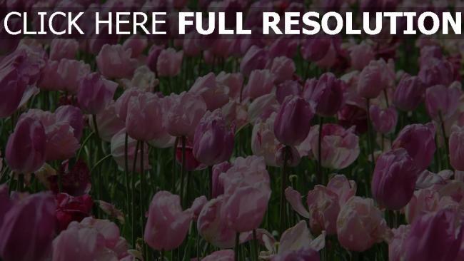 hd hintergrundbilder rosa blumen tulpen