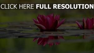 blütenblätter wasser blume waterlily