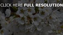 blüte frühling bestäubung biene