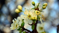 frühling zweig kirsche blüte