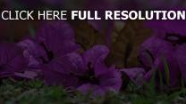 blütenblätter gras blumen bougainvillea