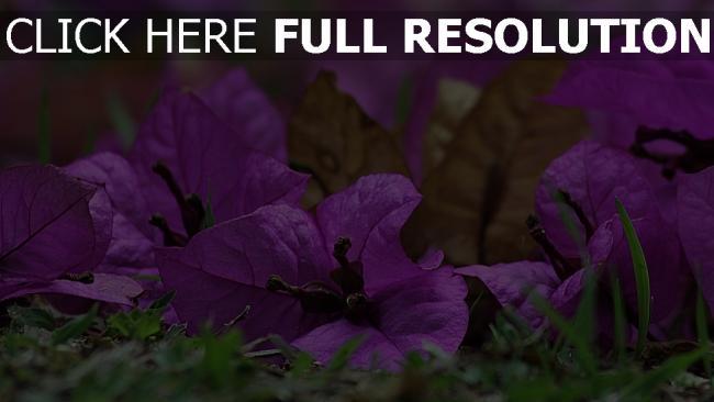 hd hintergrundbilder blütenblätter gras blumen bougainvillea