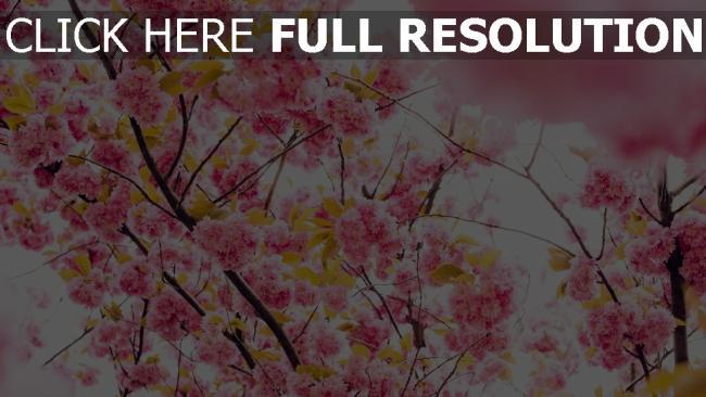 hd hintergrundbilder blüte baum blumen kirsche