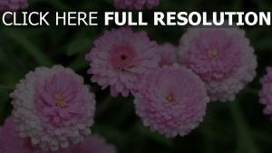 rosa blumen chrysanthemen