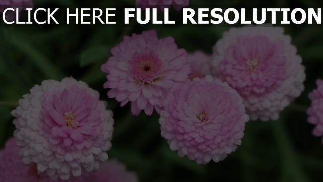 hd hintergrundbilder rosa blumen chrysanthemen