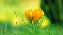verwischen sommer gras krokusse