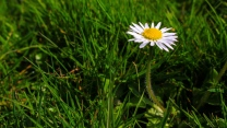 gras blumen gänseblümchen