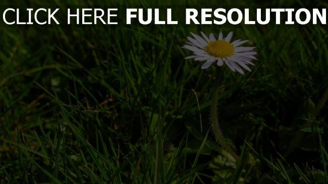 hd hintergrundbilder gras blumen gänseblümchen