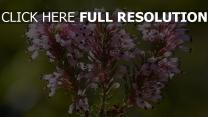 zweig wilde blume erica multiflora