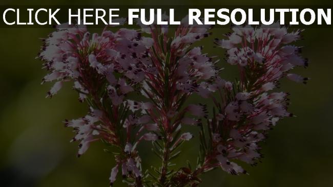 hd hintergrundbilder zweig wilde blume erica multiflora