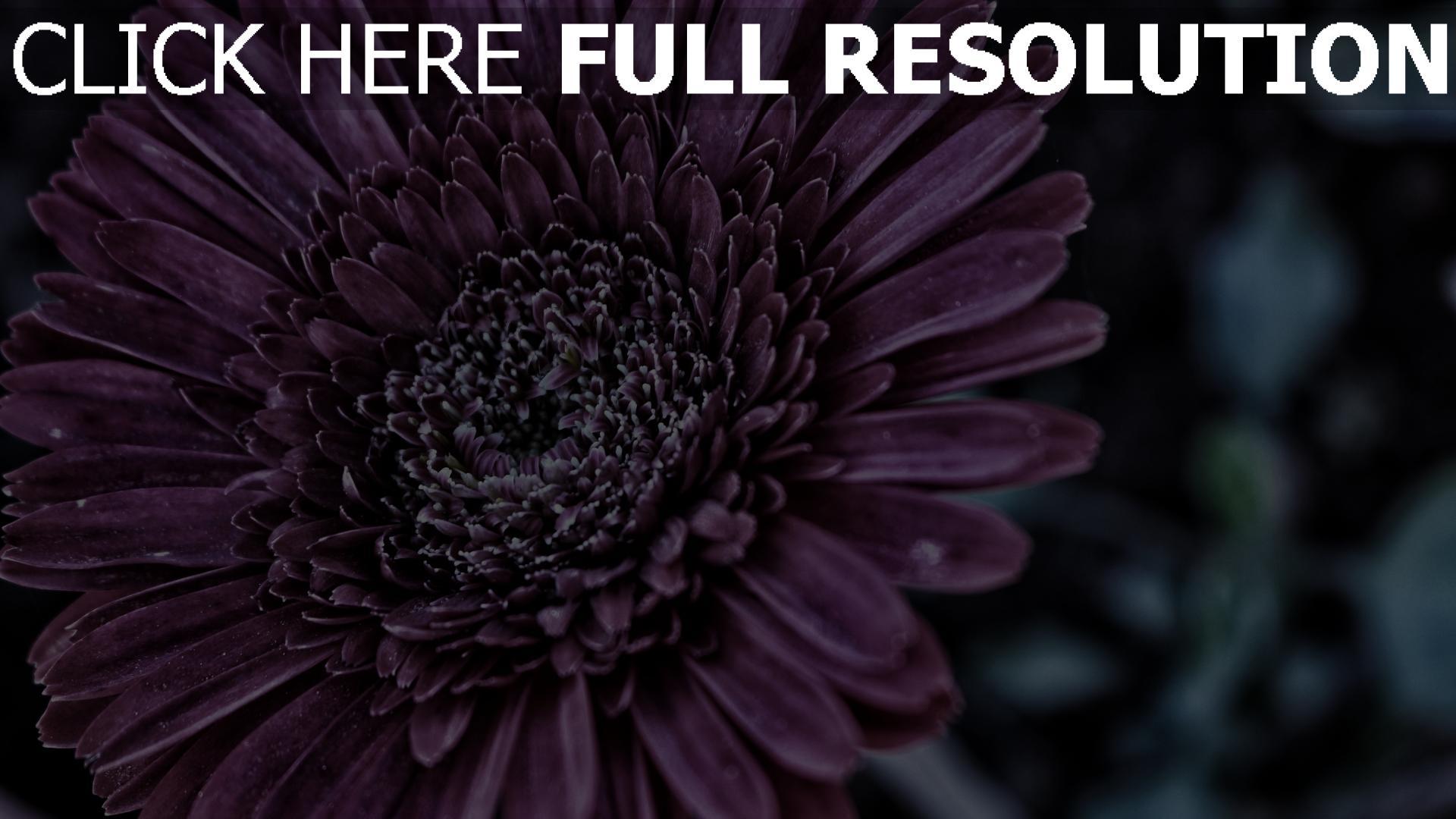 Blume Hd
