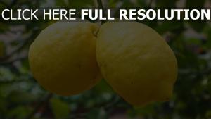 zitrone zweig zitrusfrüchte obst