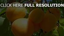 aprikosen geäst obst reife
