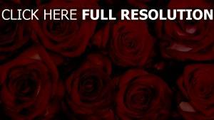 valentinstag rosen rot blumenstrauß blumen