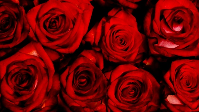 hd hintergrundbilder valentinstag rosen rot blumenstrauß blumen