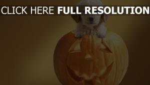 kürbis jack-o-lantern halloween hund welpen