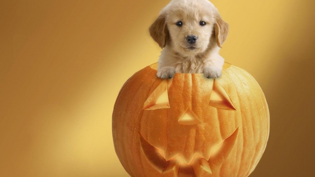 hd hintergrundbilder kürbis jack-o-lantern halloween hund welpen