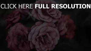 rosen blumen blüten nass tropfen wasser