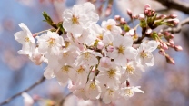 kirsche blüten blühen frühling zweig knospe