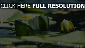see seerosen blumen lotusblumen