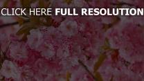 kirsche blüte frühling blumenblätter blüten rosa