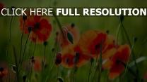 mohnblumen gras blütenblätter feld rot grün