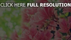 blüte blumenblätter rosa empfindlich blätter frühling