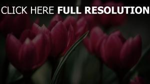 tulpen blütenblätter rosa stengel strauß