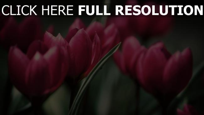 hd hintergrundbilder tulpen blütenblätter rosa stengel strauß