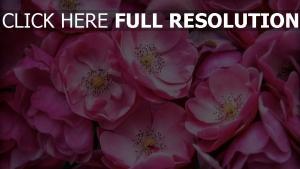 blütenblätter rosen blumen rosa empfindlich blüte