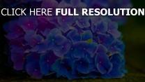 blumen blüten hortensie blau blütenstand