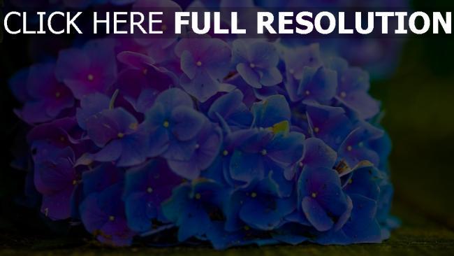hd hintergrundbilder blumen blüten hortensie blau blütenstand