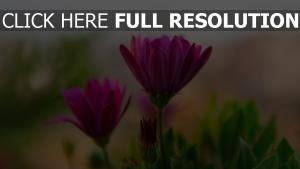 blumen rosa blütenblätter blur bud
