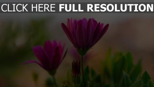 hd hintergrundbilder blumen rosa blütenblätter blur bud