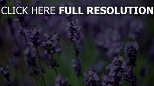 blüten lavendel frühling lila blütenstand
