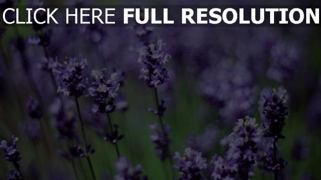 hd hintergrundbilder bl ten lavendel fr hling lila bl tenstand desktop hintergrund. Black Bedroom Furniture Sets. Home Design Ideas