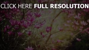 magnolien blüten frühling blütenblätter rosa