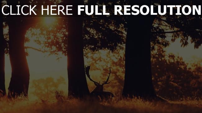 hd hintergrundbilder bäume hirsch reis schlaf silnouete