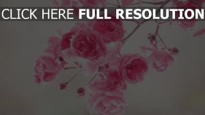 blühen zweig rosa blütenblätter knospen